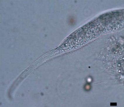 Litonotus pictus